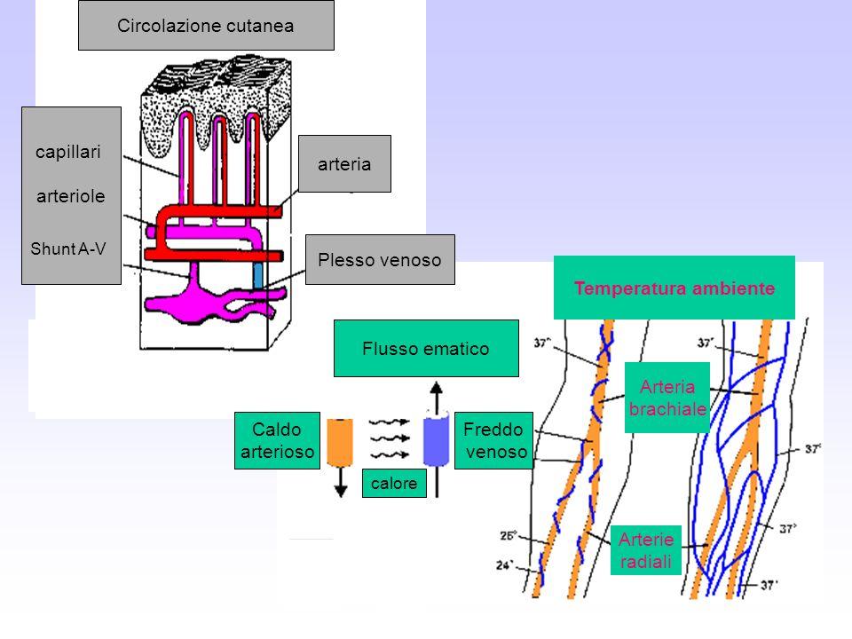 Circolazione cutanea arteria Plesso venoso arteriole Flusso ematico calore Freddo venoso Caldo arterioso Temperatura ambiente Arterie radiali Arteria