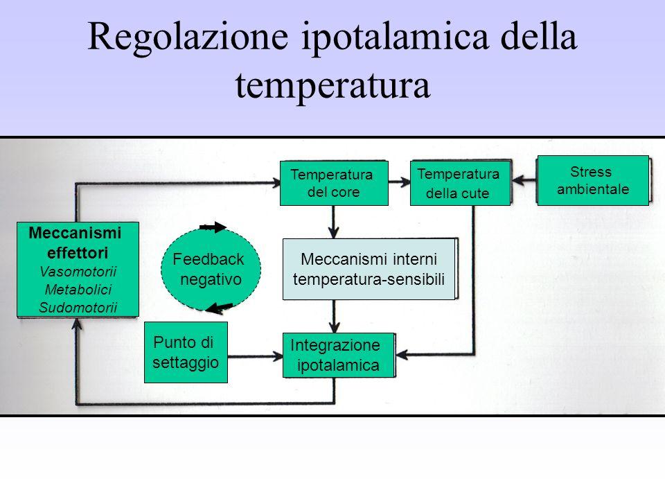 Regolazione ipotalamica della temperatura Temperatura del core Temperatura della cute Stress ambientale Meccanismi effettori Vasomotorii Metabolici Su