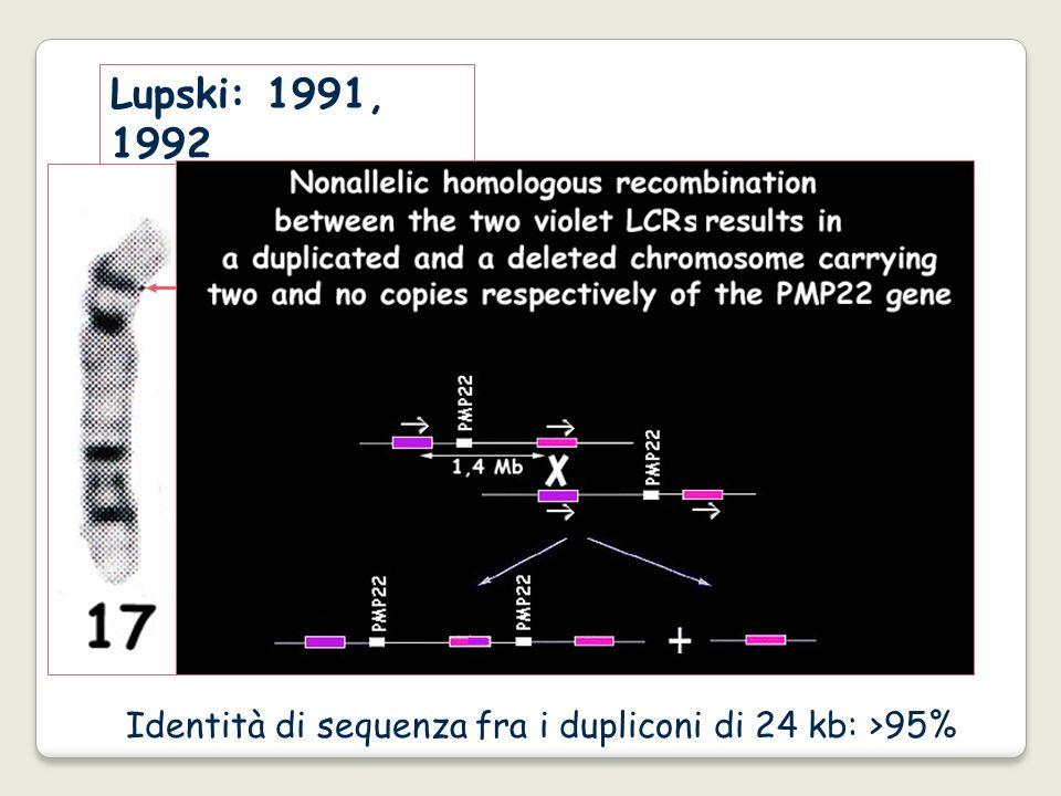 Identità di sequenza fra i dupliconi di 24 kb: >95% Lupski: 1991, 1992