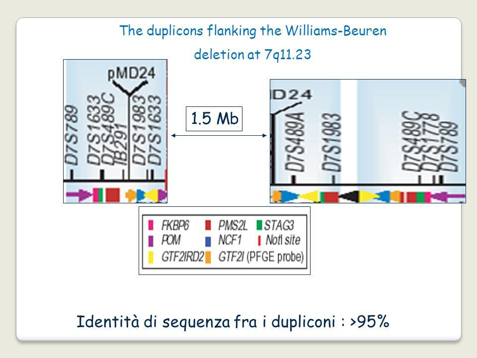 The duplicons flanking the Williams-Beuren deletion at 7q11.23 1.5 Mb Identità di sequenza fra i dupliconi : >95%