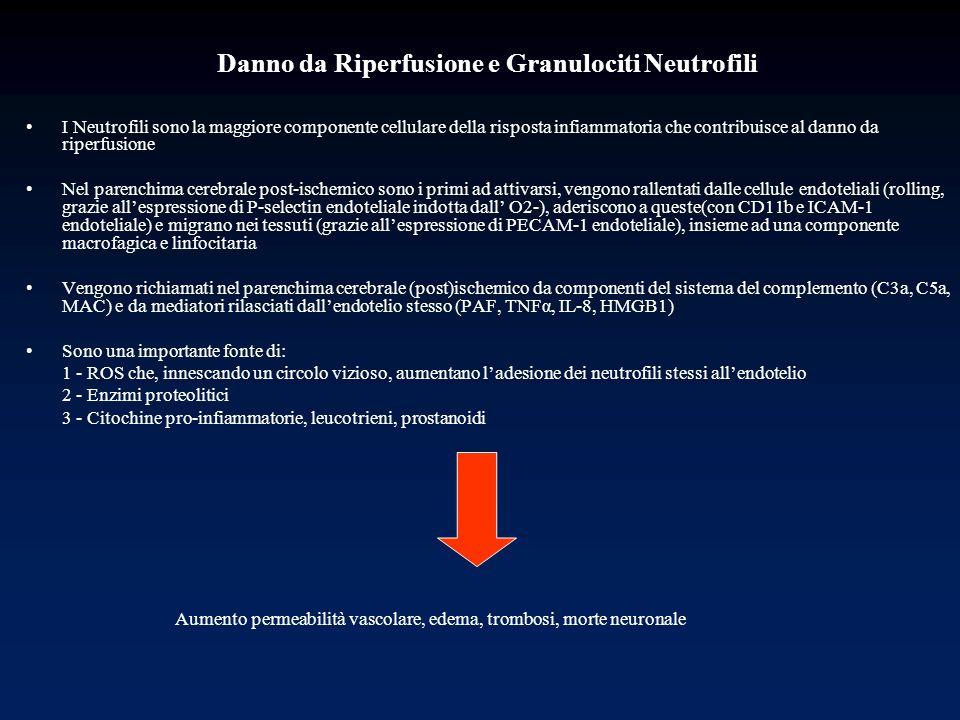 Danno da Riperfusione e Granulociti Neutrofili I Neutrofili sono la maggiore componente cellulare della risposta infiammatoria che contribuisce al dan