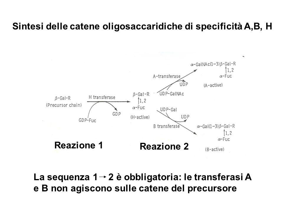 Reazione 1 Reazione 2 La sequenza 1 2 è obbligatoria: le transferasi A e B non agiscono sulle catene del precursore Sintesi delle catene oligosaccarid