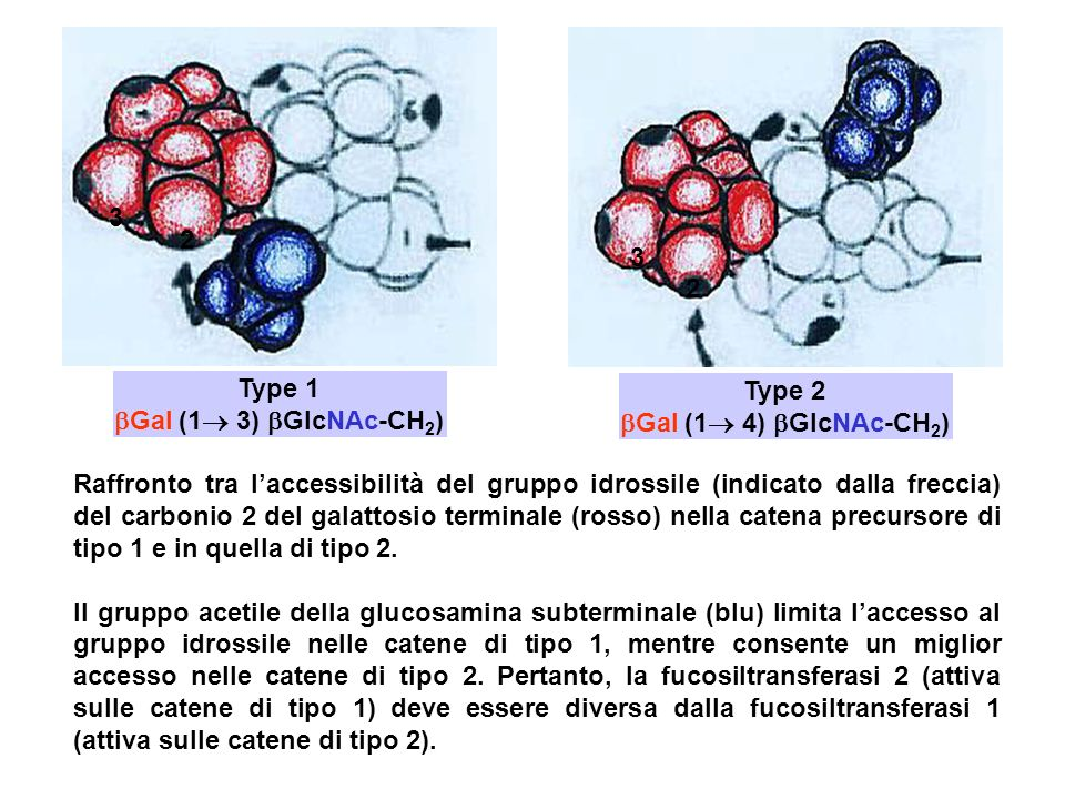 Type 1 Gal (1 3) GlcNAc-CH 2 ) Type 2 Gal (1 4) GlcNAc-CH 2 ) Raffronto tra laccessibilità del gruppo idrossile (indicato dalla freccia) del carbonio