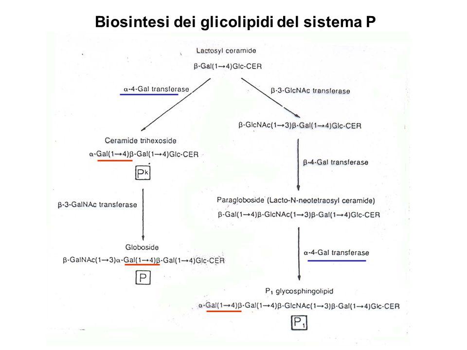 Biosintesi dei glicolipidi del sistema P