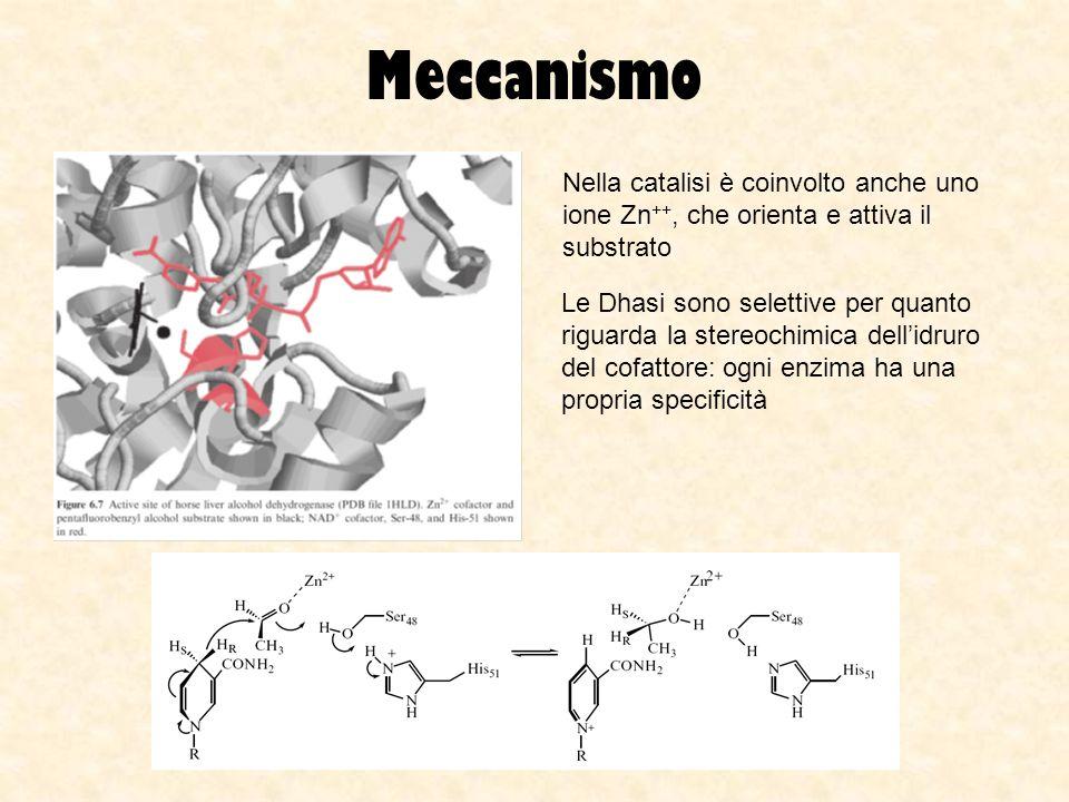 Meccanismo Nella catalisi è coinvolto anche uno ione Zn ++, che orienta e attiva il substrato Le Dhasi sono selettive per quanto riguarda la stereochi