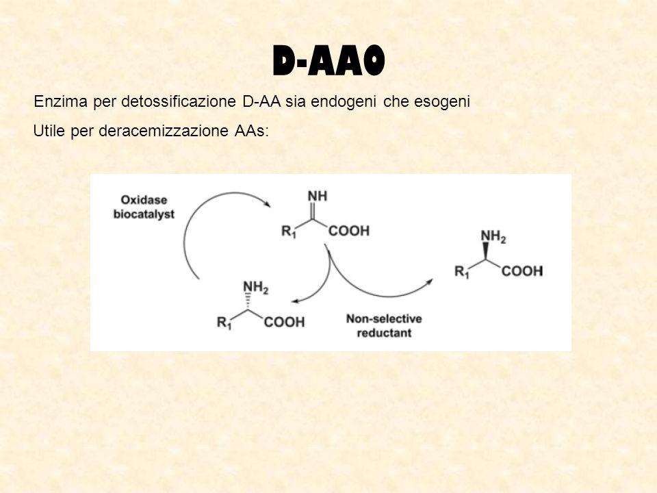 D-AAO Enzima per detossificazione D-AA sia endogeni che esogeni Utile per deracemizzazione AAs: