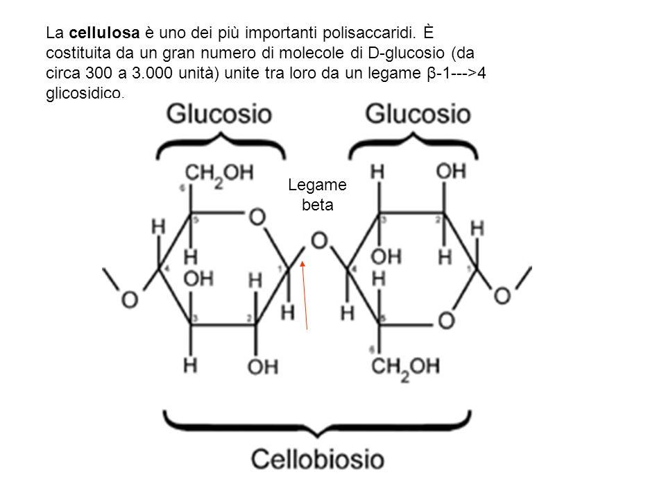 La cellulosa è uno dei più importanti polisaccaridi. È costituita da un gran numero di molecole di D-glucosio (da circa 300 a 3.000 unità) unite tra l