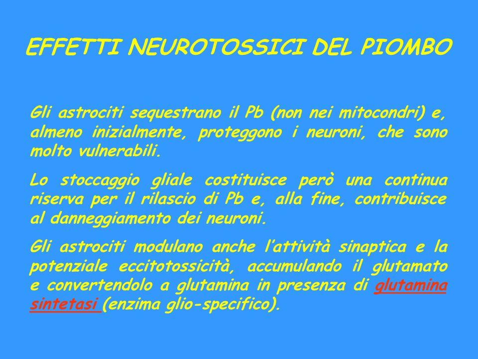 EFFETTI NEUROTOSSICI DEL PIOMBO Gli astrociti sequestrano il Pb (non nei mitocondri) e, almeno inizialmente, proteggono i neuroni, che sono molto vuln