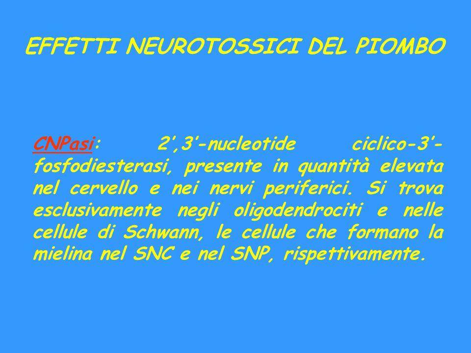 EFFETTI NEUROTOSSICI DEL PIOMBO CNPasi: 2,3-nucleotide ciclico-3- fosfodiesterasi, presente in quantità elevata nel cervello e nei nervi periferici. S
