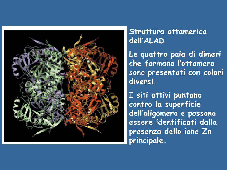Struttura ottamerica dellALAD. Le quattro paia di dimeri che formano lottamero sono presentati con colori diversi. I siti attivi puntano contro la sup