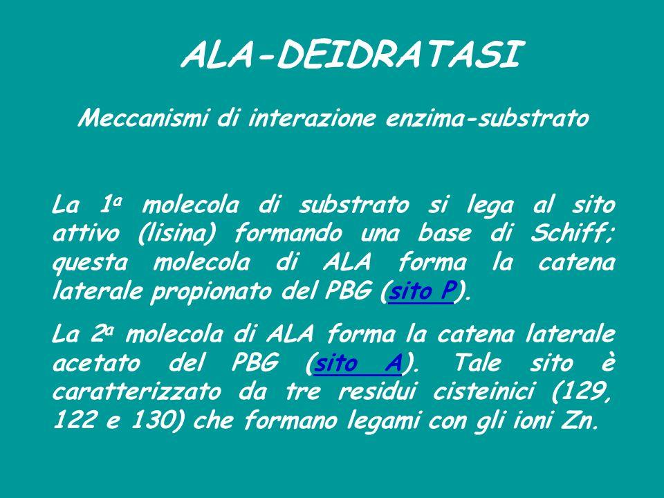 ALA-DEIDRATASI Meccanismi di interazione enzima-substrato La 1 a molecola di substrato si lega al sito attivo (lisina) formando una base di Schiff; qu