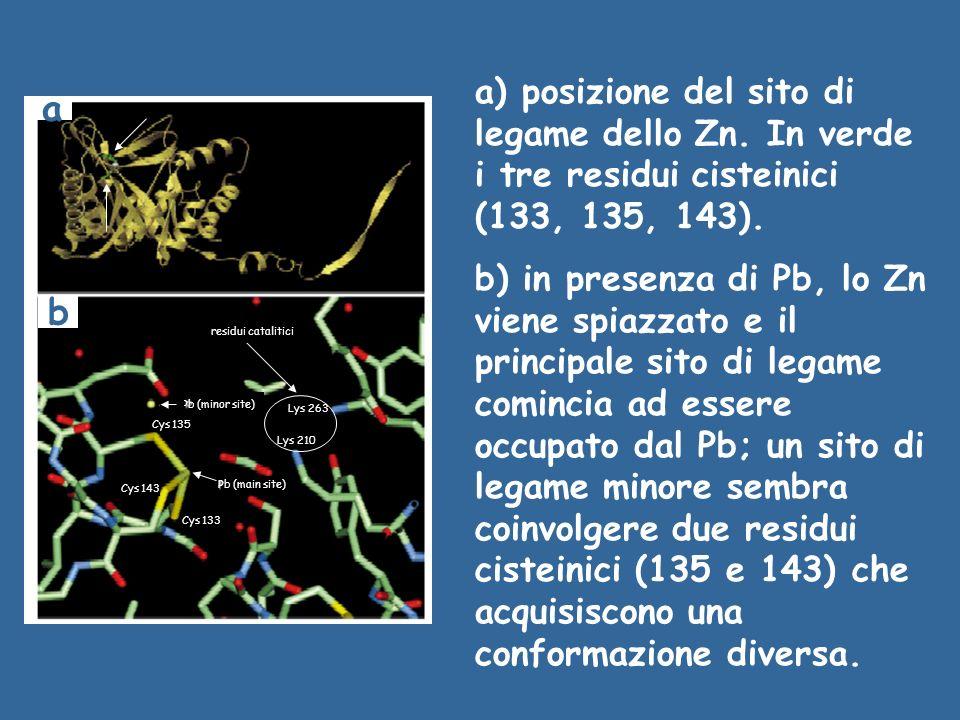 a) posizione del sito di legame dello Zn. In verde i tre residui cisteinici (133, 135, 143). b) in presenza di Pb, lo Zn viene spiazzato e il principa