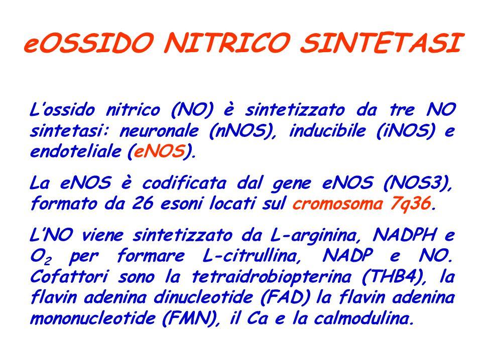 eOSSIDO NITRICO SINTETASI Lossido nitrico (NO) è sintetizzato da tre NO sintetasi: neuronale (nNOS), inducibile (iNOS) e endoteliale (eNOS). La eNOS è