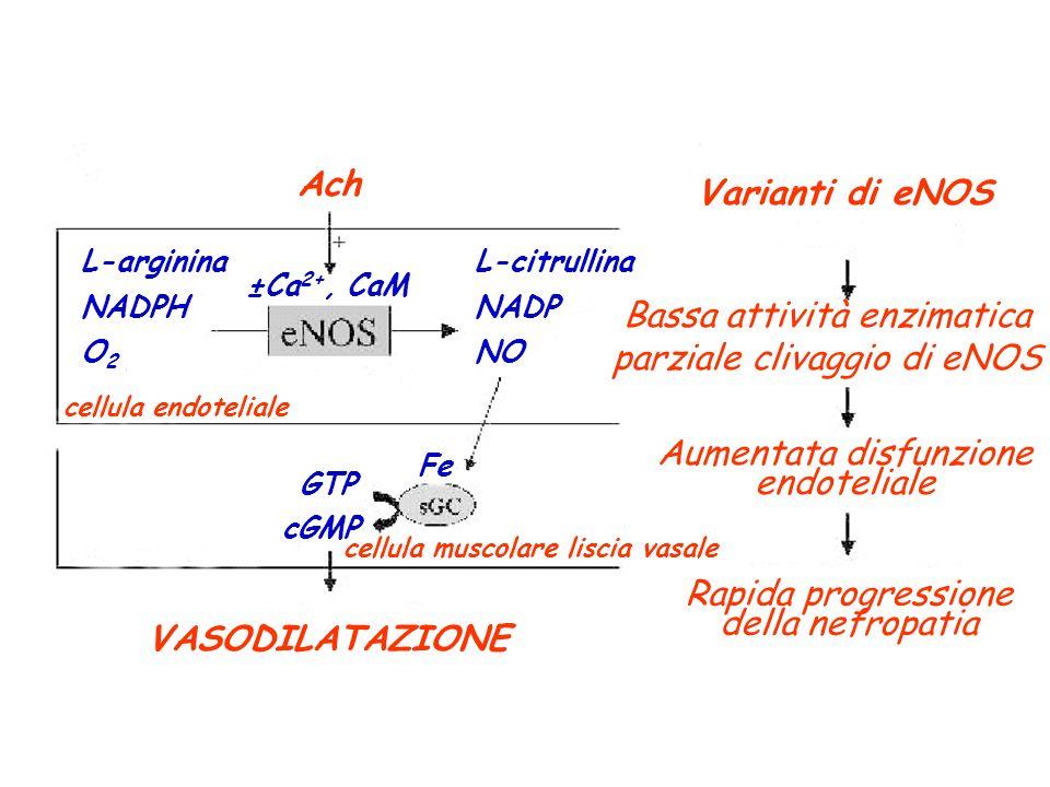 L-arginina NADPH O 2 L-citrullina NADP NO cellula endoteliale Ach GTP cGMP cellula muscolare liscia vasale VASODILATAZIONE Varianti di eNOS Bassa atti