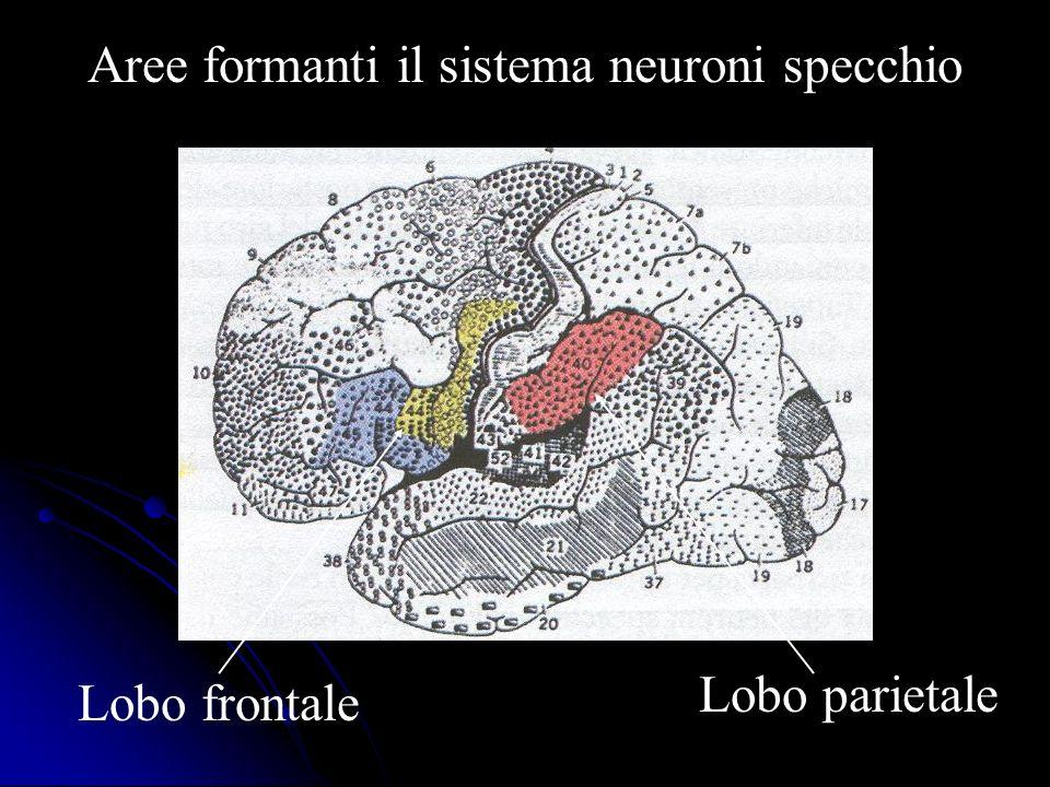 Lobo frontale Lobo parietale Aree formanti il sistema neuroni specchio