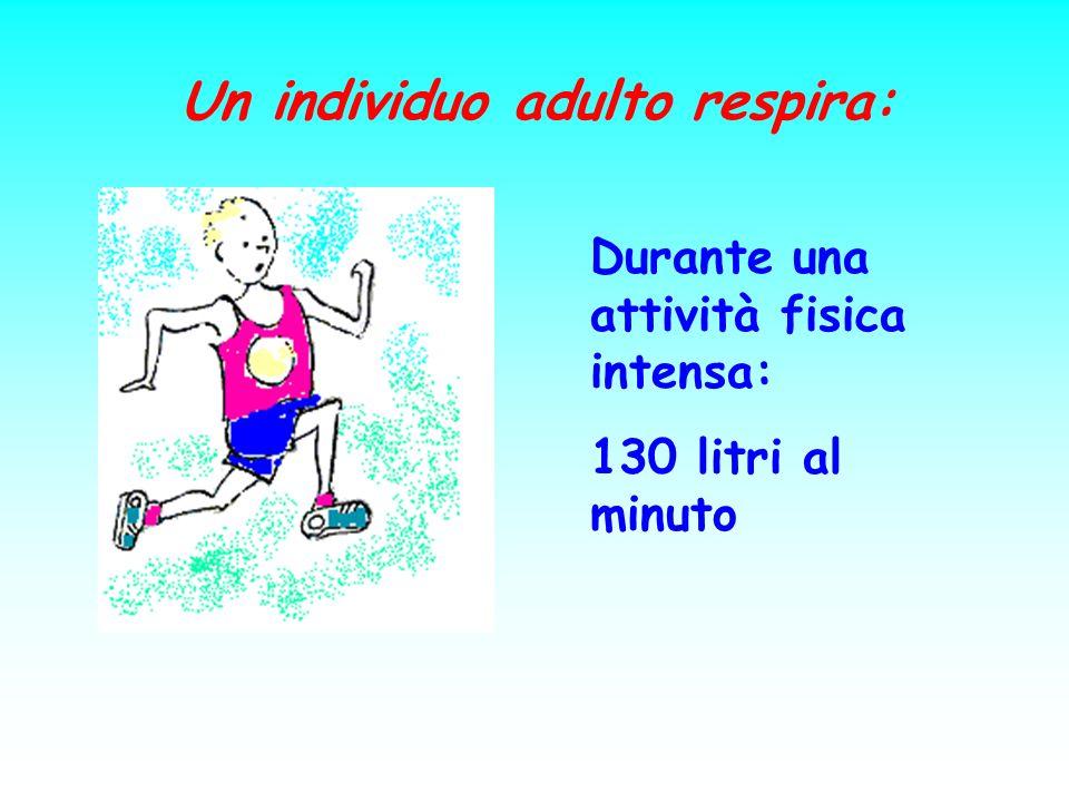 Un individuo adulto respira: Durante una attività fisica intensa: 130 litri al minuto