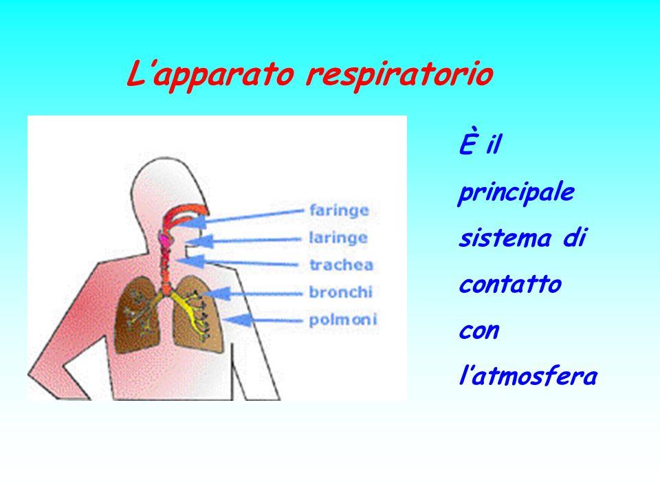 Lapparato respiratorio È il principale sistema di contatto con latmosfera