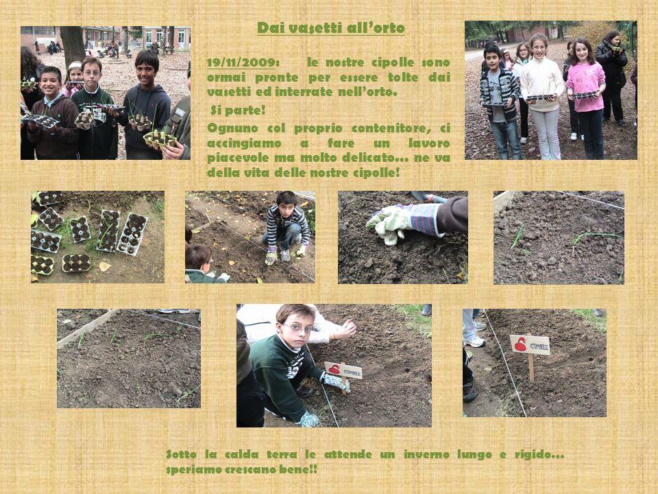 Dai vasetti allorto 19/11/2009: le nostre cipolle sono ormai pronte per essere tolte dai vasetti ed interrate nellorto.