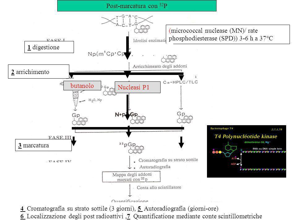 (micrococcal nuclease (MN)/ rate phosphodiesterase (SPD)) 3-6 h a 37°C Nucleasi P1 1 digestione 2 arrichimento 3 marcatura butanolo 4 Cromatografia su strato sottile (3 giorni), 5 Autoradiografia (giorni-ore) 6 Localizzazione degli post radioattivi,7 Quantificatione mediante conte scintillometriche Post-marcatura con 32 P