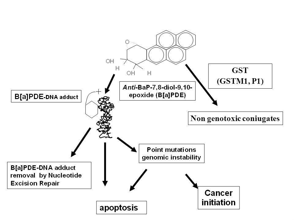 GST (GSTM1, P1) Non genotoxic coniugates