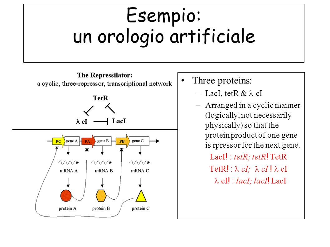 Esempio: un orologio artificiale Three proteins: –LacI, tetR & cI –Arranged in a cyclic manner (logically, not necessarily physically) so that the pro