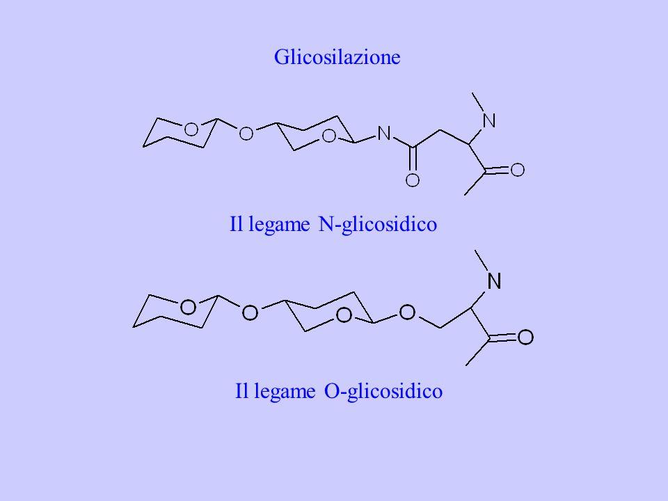 Glicosilazione Il legame N-glicosidico Il legame O-glicosidico