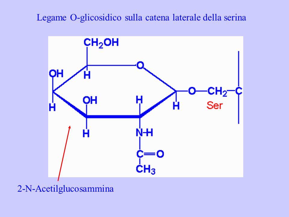 Legame O-glicosidico sulla catena laterale della serina 2-N-Acetilglucosammina