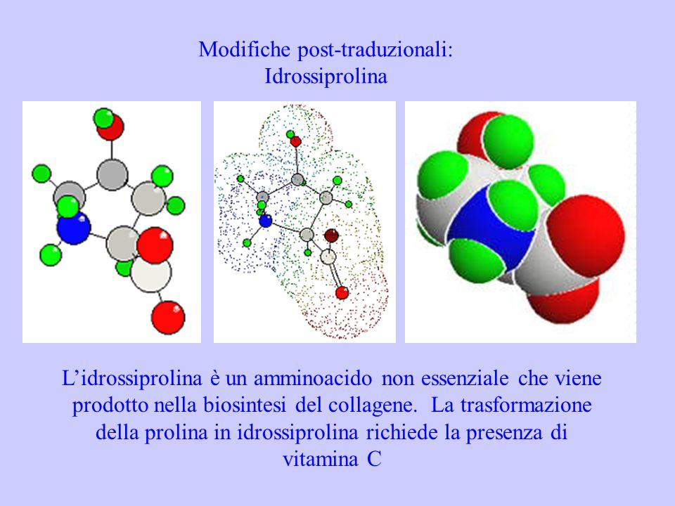 Modifiche post-traduzionali: Idrossiprolina Lidrossiprolina è un amminoacido non essenziale che viene prodotto nella biosintesi del collagene. La tras