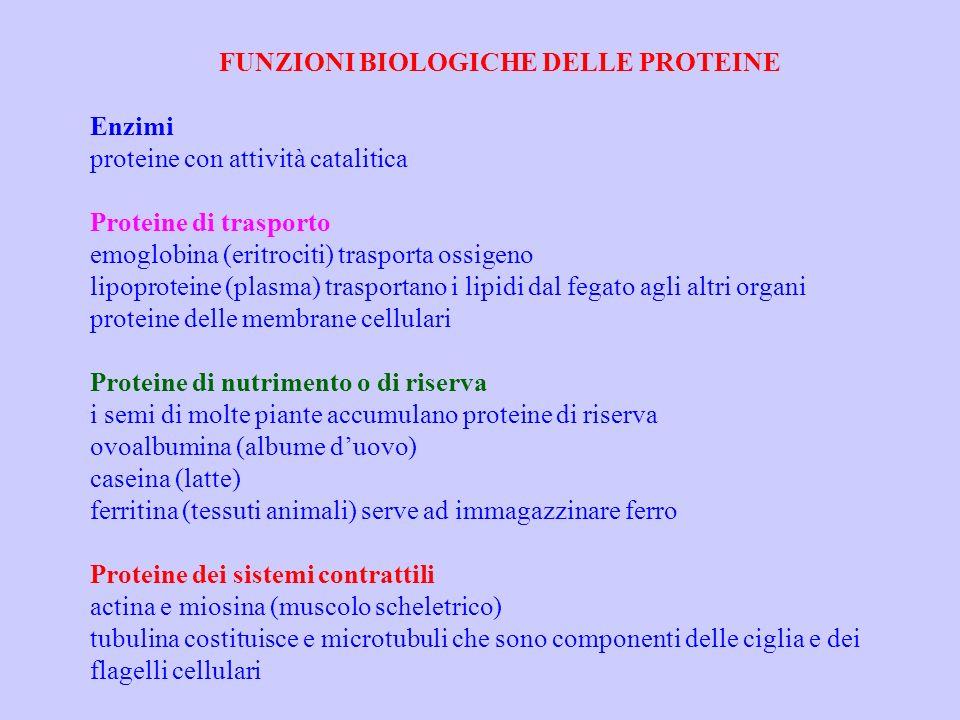 FUNZIONI BIOLOGICHE DELLE PROTEINE Enzimi proteine con attività catalitica Proteine di trasporto emoglobina (eritrociti) trasporta ossigeno lipoprotei