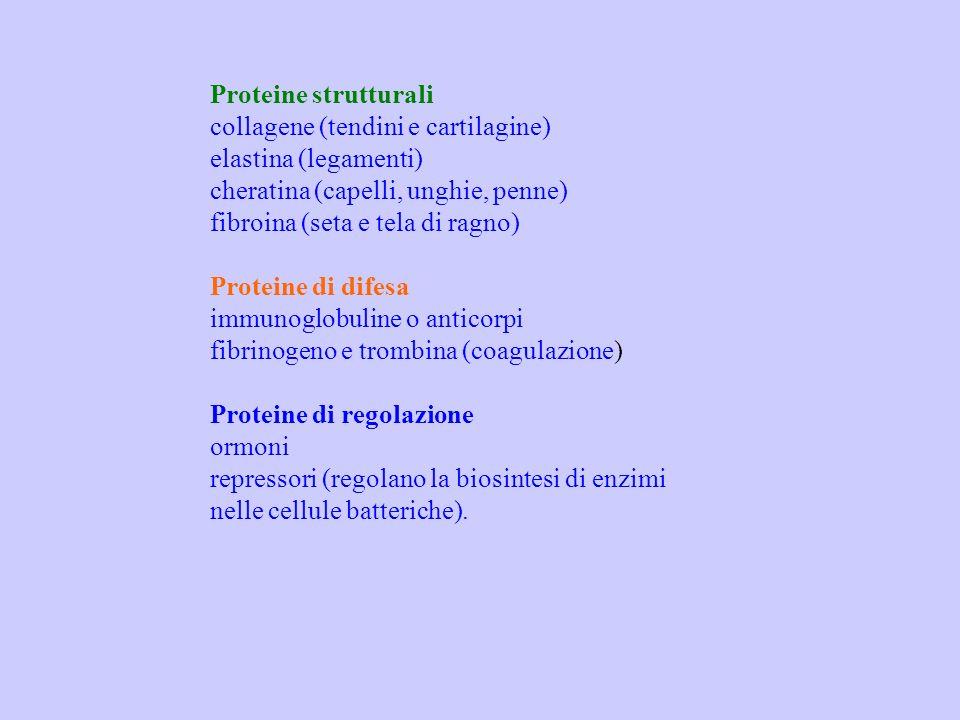 Proteine strutturali collagene (tendini e cartilagine) elastina (legamenti) cheratina (capelli, unghie, penne) fibroina (seta e tela di ragno) Protein