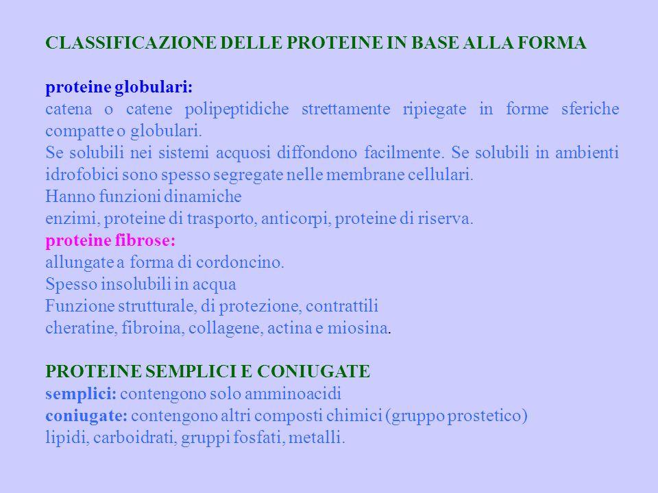 CLASSIFICAZIONE DELLE PROTEINE IN BASE ALLA FORMA proteine globulari: catena o catene polipeptidiche strettamente ripiegate in forme sferiche compatte