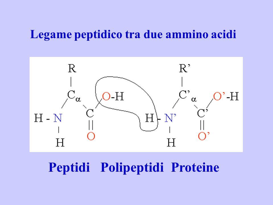 Legame peptidico tra due ammino acidi Peptidi Polipeptidi Proteine