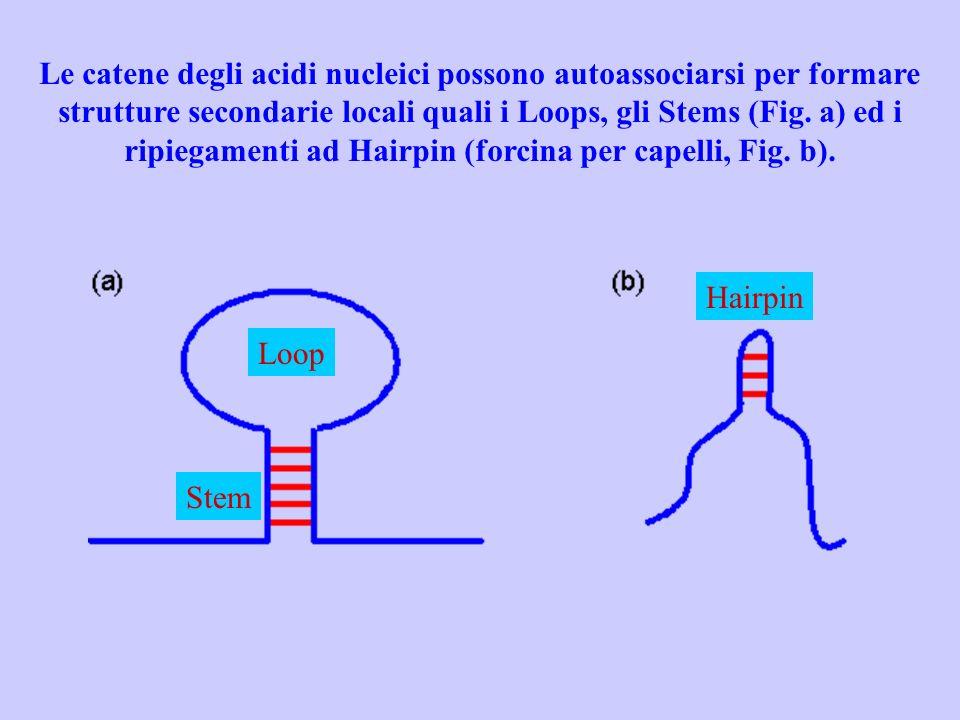 Le catene degli acidi nucleici possono autoassociarsi per formare strutture secondarie locali quali i Loops, gli Stems (Fig. a) ed i ripiegamenti ad H