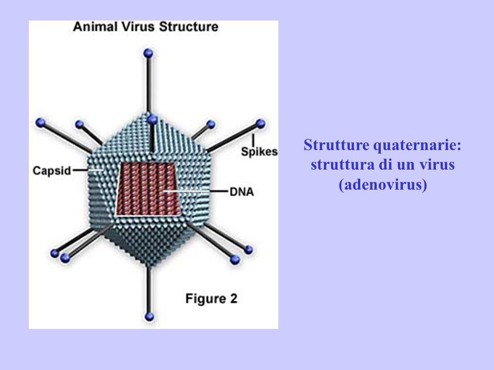 Strutture quaternarie: struttura di un virus (adenovirus)