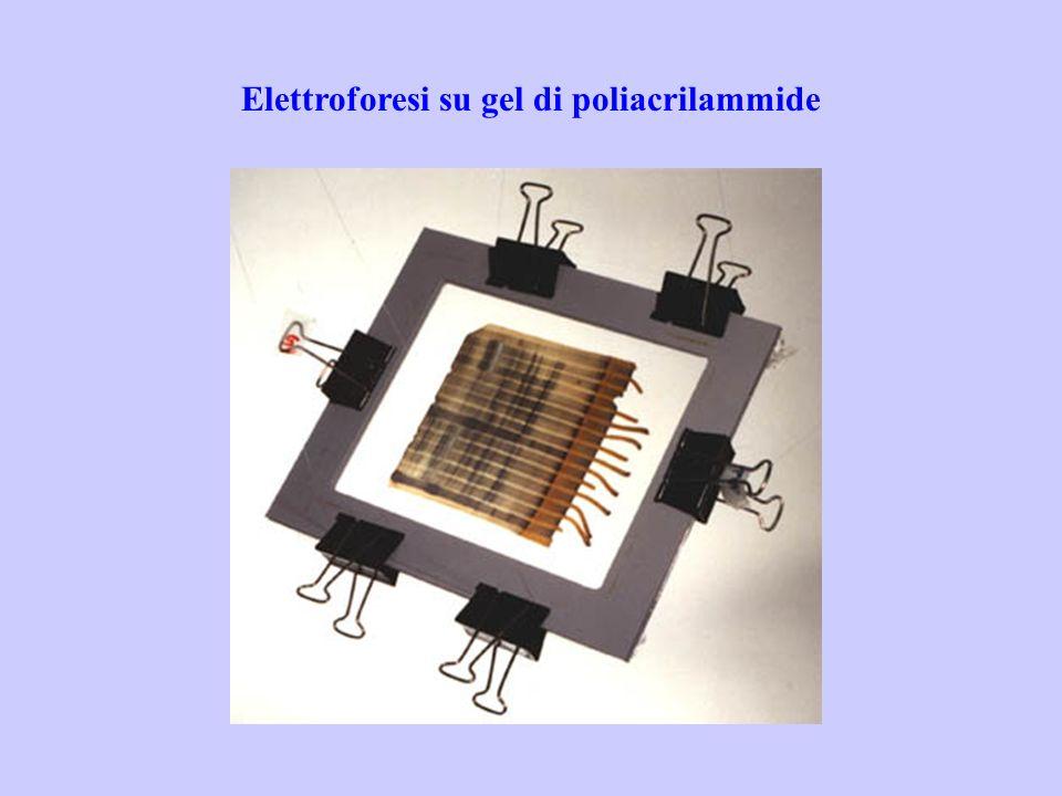 Elettroforesi su gel di poliacrilammide