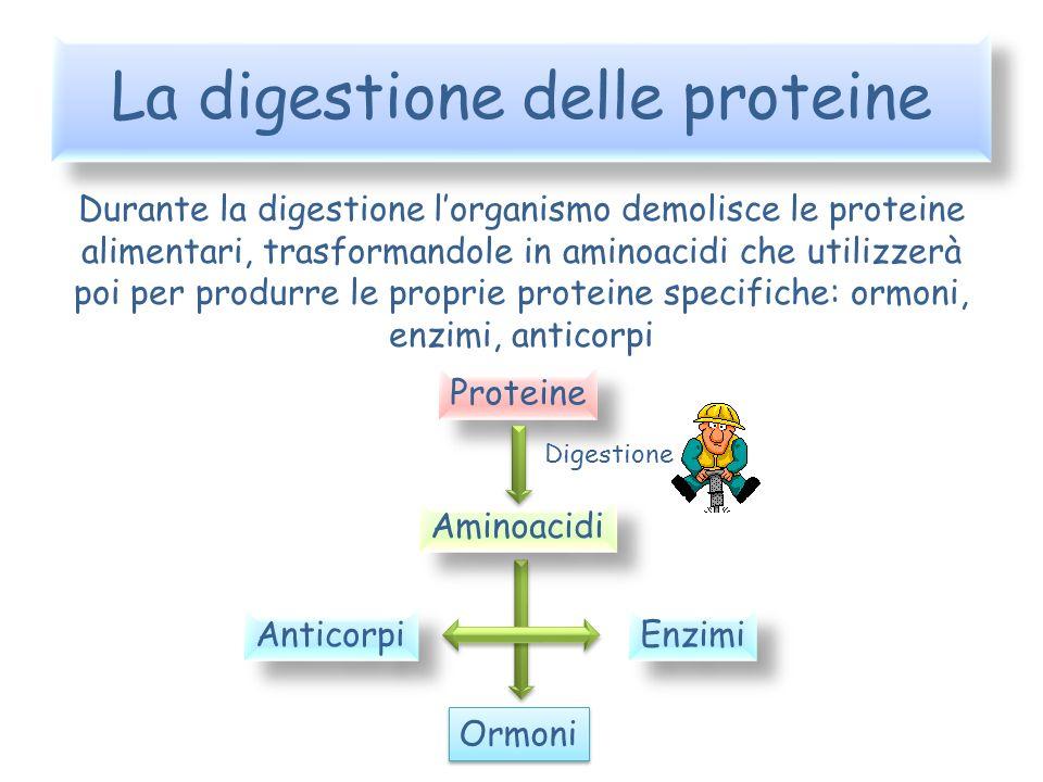 La digestione delle proteine Durante la digestione lorganismo demolisce le proteine alimentari, trasformandole in aminoacidi che utilizzerà poi per pr