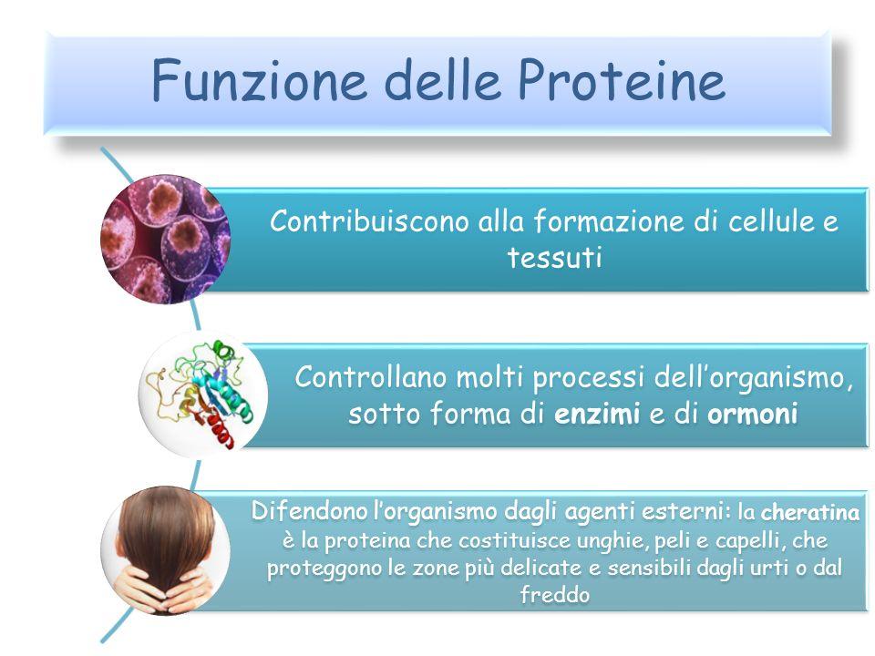 Funzione delle Proteine Contribuiscono alla formazione di cellule e tessuti Controllano molti processi dellorganismo, sotto forma di enzimi e di ormon