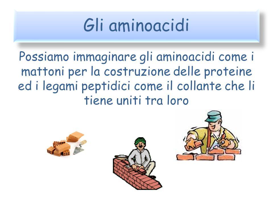 Gli aminoacidi Possiamo immaginare gli aminoacidi come i mattoni per la costruzione delle proteine ed i legami peptidici come il collante che li tiene
