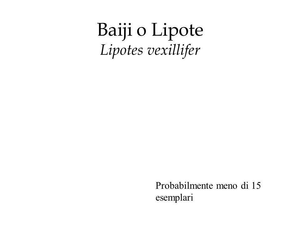 Baiji o Lipote Lipotes vexillifer Probabilmente meno di 15 esemplari
