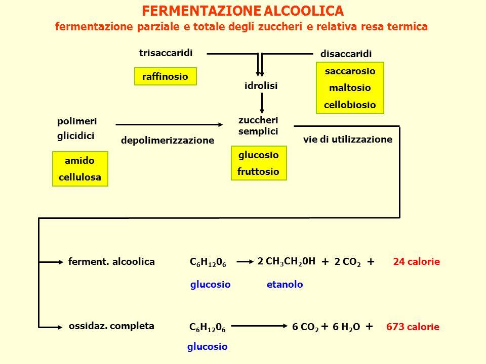 FERMENTAZIONE ALCOOLICA fermentazione parziale e totale degli zuccheri e relativa resa termica C 6 H 12 0 6 2 CH 3 CH 2 0H + 2 CO 2 + 24 calorie C 6 H