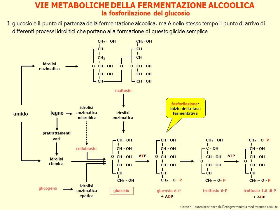 la fosforilazione del glucosio CH - OH CH CH 2 - OH O glucosio CH 2 - OH CH CH 2 CH - OH CH O CH 2 - OH CH CH - OH OO maltosio idrolisi enzimatica ami