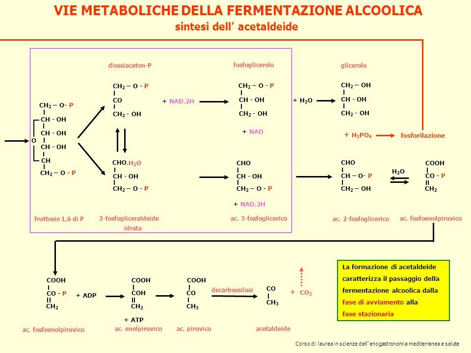 sintesi dell acetaldeide CH 2 – O- P CH - OH CH CH 2 – O - P O fruttosio 1,6 di P CH 2 – O - P CO CH 2 - OH diossiaceton-P 3-fosfogliceraldeide + NAD.