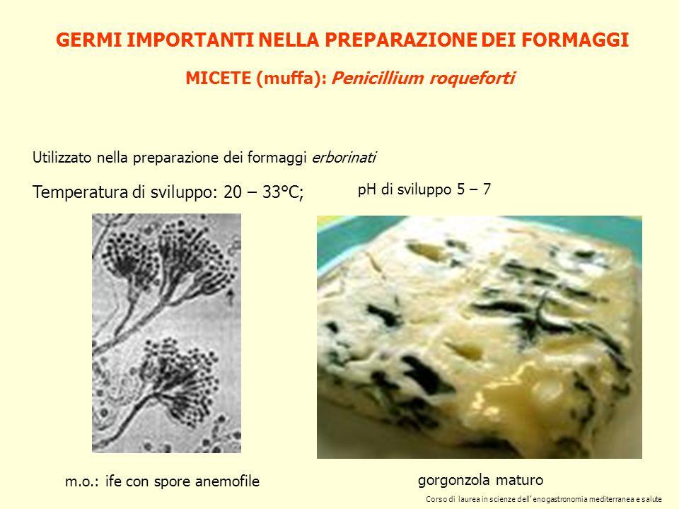 GERMI IMPORTANTI NELLA PREPARAZIONE DEI FORMAGGI MICETE (muffa): Penicillium roqueforti Utilizzato nella preparazione dei formaggi erborinati Temperat