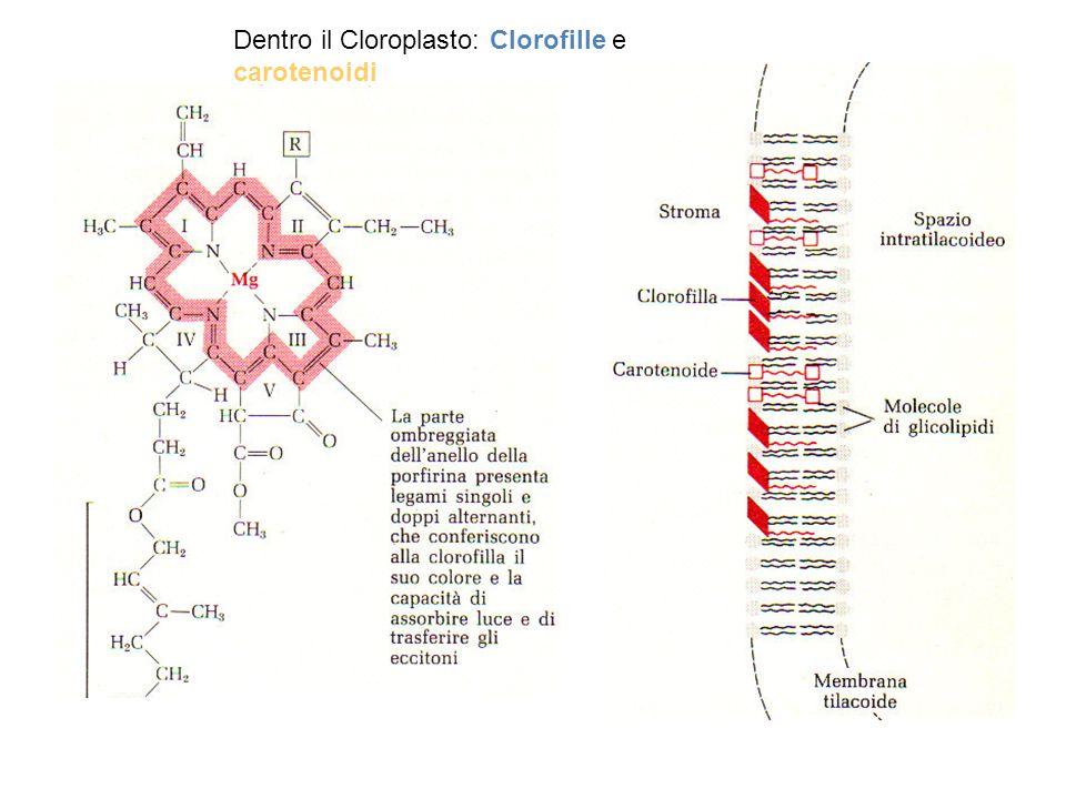 Dentro il Cloroplasto: Clorofille e carotenoidi