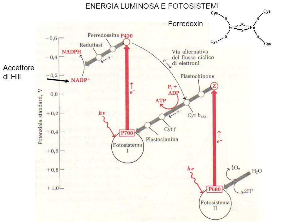 ENERGIA LUMINOSA E FOTOSISTEMI Accettore di Hill Ferredoxin