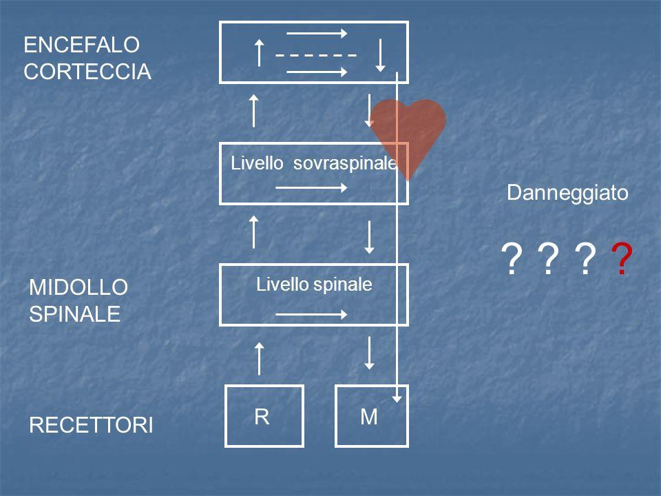 ENCEFALO CORTECCIA MIDOLLO SPINALE RECETTORI Livello sovraspinale Livello spinale MR Danneggiato ? ?