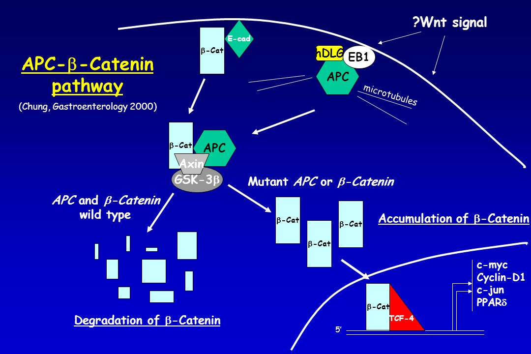 APC E-cad -Cat hDLG EB1 -Cat 5 TCF-4 c-myc Cyclin-D1 c-jun PPAR Mutant APC or -Catenin Accumulation of -Catenin -Cat GSK-3 APC Axin APC and -Catenin w