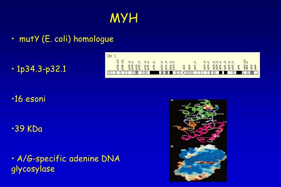 mutY (E. coli) homologue 1p34.3-p32.1 16 esoni 39 KDa A/G-specific adenine DNA glycosylase MYH
