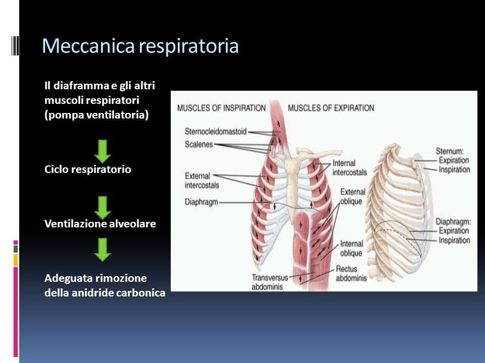 Meccanica respiratoria Il diaframma e gli altri muscoli respiratori (pompa ventilatoria) Ciclo respiratorio Ventilazione alveolare Adeguata rimozione della anidride carbonica