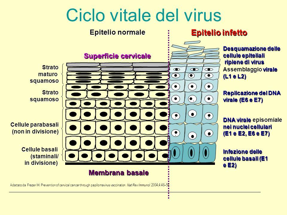 ....... Epitelio normale Superficie cervicale Membrana basale Ciclo vitale del virus Epitelio infetto Desquamazione delle cellule epiteliali ripiene d